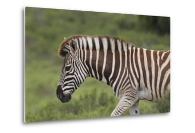 African Zebras 025-Bob Langrish-Metal Print