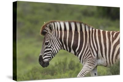 African Zebras 025-Bob Langrish-Stretched Canvas Print