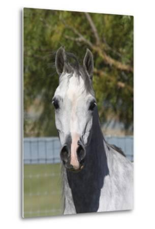 Arabians 015-Bob Langrish-Metal Print