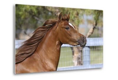 Arabians 016-Bob Langrish-Metal Print