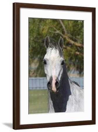 Arabians 015-Bob Langrish-Framed Photographic Print