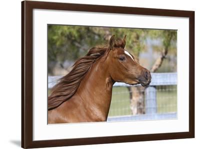 Arabians 016-Bob Langrish-Framed Photographic Print