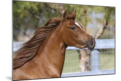 Arabians 016-Bob Langrish-Mounted Photographic Print