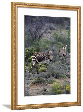 African Zebras 011-Bob Langrish-Framed Photographic Print