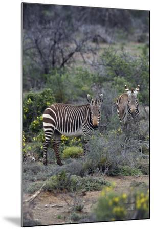 African Zebras 011-Bob Langrish-Mounted Photographic Print