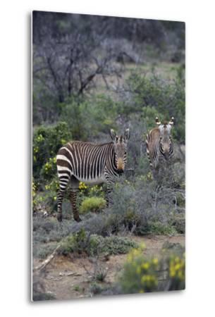 African Zebras 011-Bob Langrish-Metal Print