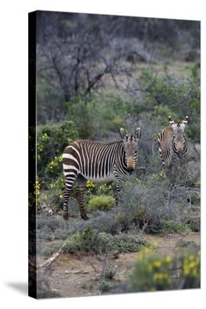 African Zebras 011-Bob Langrish-Stretched Canvas Print
