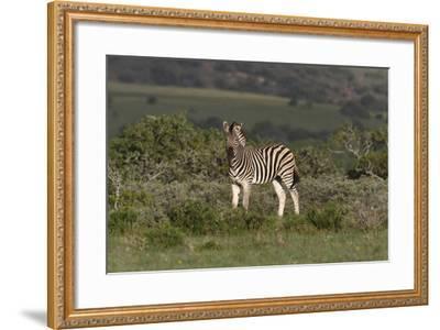 African Zebras 019-Bob Langrish-Framed Photographic Print