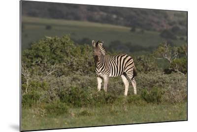 African Zebras 019-Bob Langrish-Mounted Photographic Print