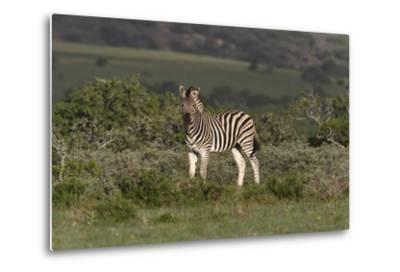 African Zebras 019-Bob Langrish-Metal Print