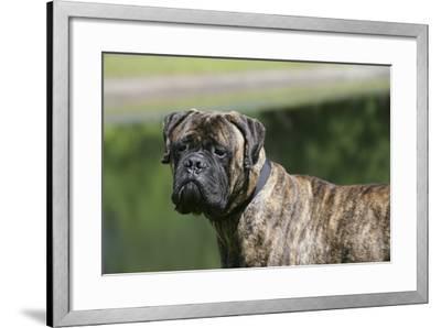 Bull Mastiff 12-Bob Langrish-Framed Photographic Print