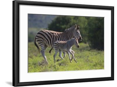 African Zebras 037-Bob Langrish-Framed Photographic Print