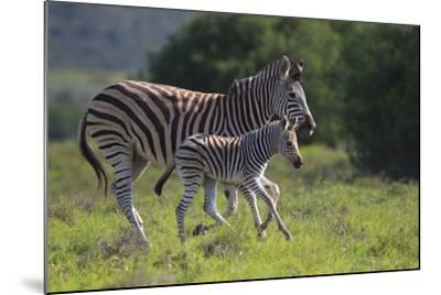 African Zebras 037-Bob Langrish-Mounted Photographic Print