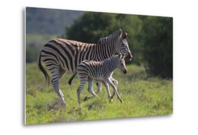 African Zebras 037-Bob Langrish-Metal Print
