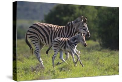African Zebras 037-Bob Langrish-Stretched Canvas Print