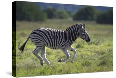 African Zebras 041-Bob Langrish-Stretched Canvas Print