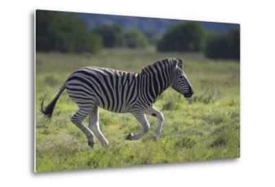 African Zebras 041-Bob Langrish-Metal Print