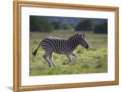 African Zebras 041-Bob Langrish-Framed Photographic Print