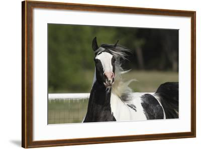 Gypsy Vanner 034-Bob Langrish-Framed Photographic Print