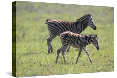 African Zebras 068-Bob Langrish-Stretched Canvas Print