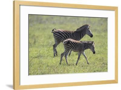 African Zebras 068-Bob Langrish-Framed Photographic Print