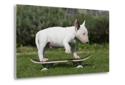 Bull Terrier 22-Bob Langrish-Metal Print