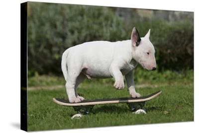 Bull Terrier 22-Bob Langrish-Stretched Canvas Print