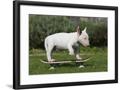 Bull Terrier 22-Bob Langrish-Framed Photographic Print