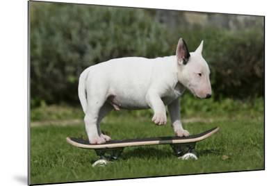 Bull Terrier 22-Bob Langrish-Mounted Photographic Print