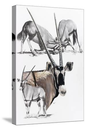 Gemsbok-Barbara Keith-Stretched Canvas Print