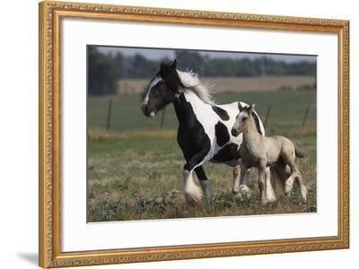 Gypsy Vanner 038-Bob Langrish-Framed Photographic Print