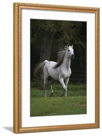 Ploomwood Arabians 007-Bob Langrish-Framed Photographic Print