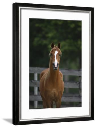 Ploomwood Arabians 008-Bob Langrish-Framed Photographic Print