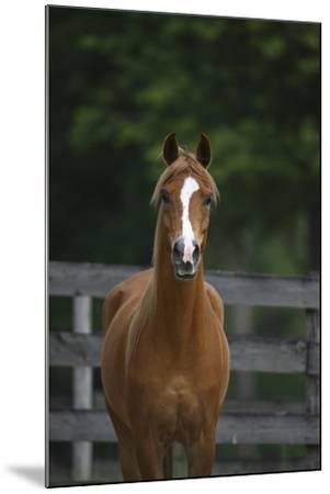 Ploomwood Arabians 008-Bob Langrish-Mounted Photographic Print