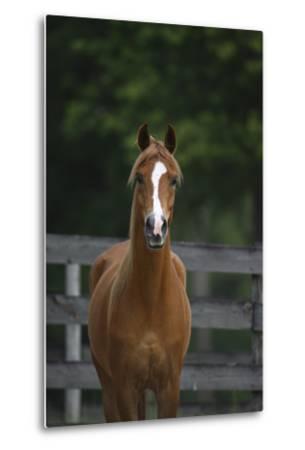 Ploomwood Arabians 008-Bob Langrish-Metal Print