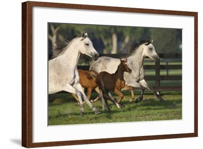 Hennessy Arabians 009-Bob Langrish-Framed Photographic Print
