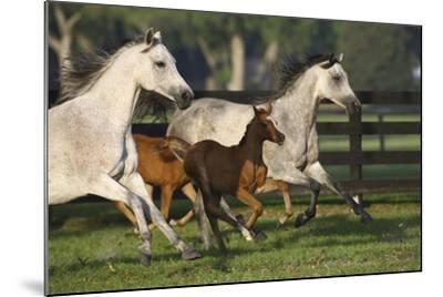 Hennessy Arabians 009-Bob Langrish-Mounted Photographic Print