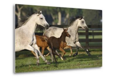 Hennessy Arabians 009-Bob Langrish-Metal Print