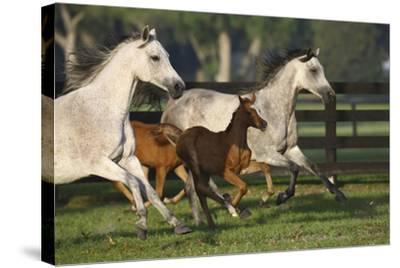 Hennessy Arabians 009-Bob Langrish-Stretched Canvas Print