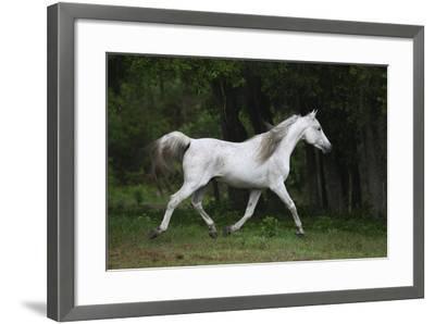 Ploomwood Arabians 002-Bob Langrish-Framed Photographic Print
