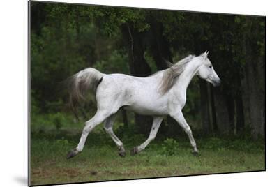 Ploomwood Arabians 002-Bob Langrish-Mounted Photographic Print