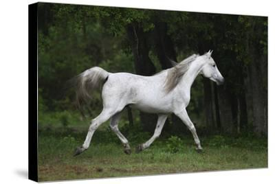 Ploomwood Arabians 002-Bob Langrish-Stretched Canvas Print