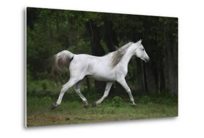 Ploomwood Arabians 002-Bob Langrish-Metal Print