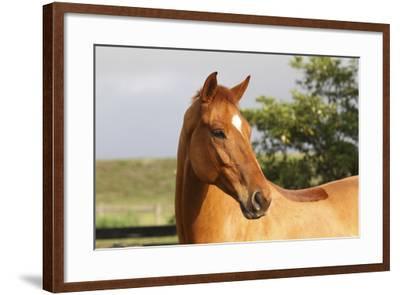 Hanovarian 002-Bob Langrish-Framed Photographic Print