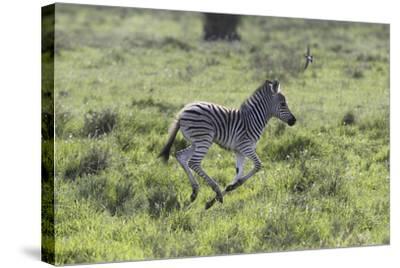 African Zebras 100-Bob Langrish-Stretched Canvas Print