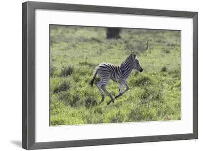 African Zebras 100-Bob Langrish-Framed Photographic Print