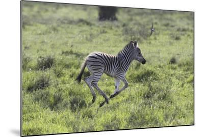 African Zebras 100-Bob Langrish-Mounted Photographic Print