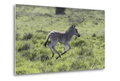 African Zebras 100-Bob Langrish-Metal Print