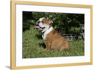 French Bulldog 53-Bob Langrish-Framed Photographic Print