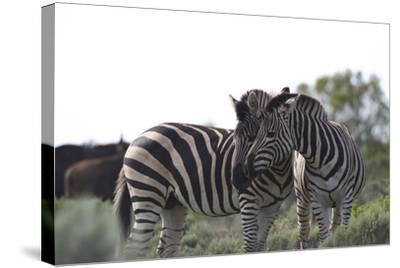 African Zebras 076-Bob Langrish-Stretched Canvas Print
